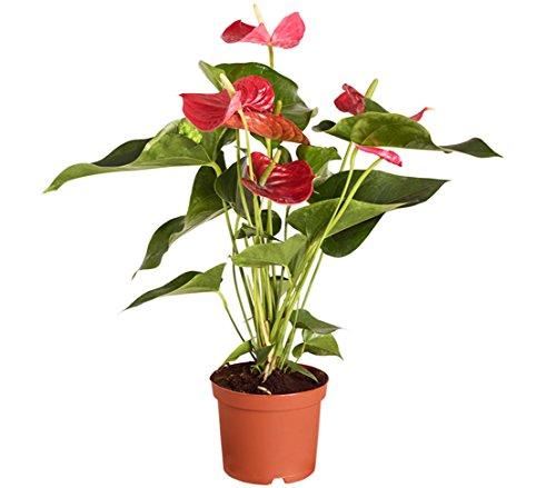 Dehner Große Flamingoblume - Anthurie, rot-farbene Blüten, ca. 50-60 cm, Ø Topf 17 cm, Zimmerpflanze