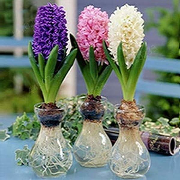 vegherb Dark Purple New 100Pcs Colore Misto Bonsai Giacinto Non Bulbi Fiore raro Beautifl Interne Fiori perenni per la casa Giardino S Viola Scuro Seeds Solo