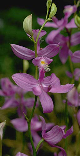 Generic Calopogon tuberosus Hardy Orchid s Rosa - Hardy Orchid