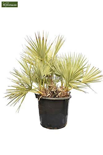 Winterharte Mazari Palme - Nannorrhops Ritchiana - verschiedene Größen (120-150cm - Stamm 20-30cm - Topf Ø 70cm)