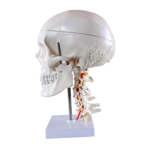 Zoom IMG-2 skelett24 s24 2141 teschio umano