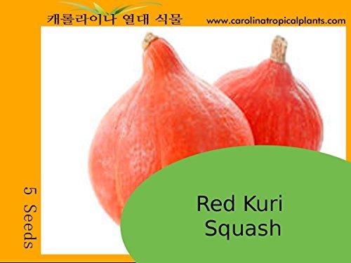 Samen-Paket: Red Kuri Squash Seeds - 5 Samen