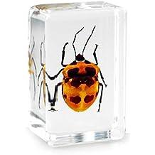 Real Camelia Bug Beetle Pisapapeles de insectos Espécimen–Small Block