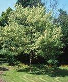 Eschenahorn ** Acer negundo ** (50 Stück Eschenahorn 2j. 1+1 80-120 cm )