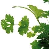 Bio Koriander Kräuterpflanze