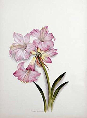 The Poster Corp Ethel May Dixie – Amaryllis Belladonna Kunstdruck (45,72 x 60,96 cm)