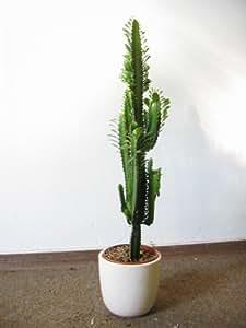 [Palmenlager] - Euphorbia Accuriensis 85 cm