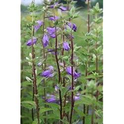 Campanula trachelium - 3 Pflanzen im 0,5 lt. Vierecktopf