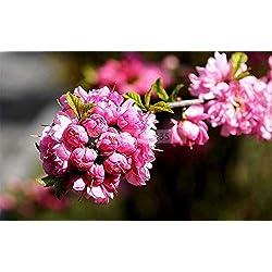 Go Garden 10PCS Prunus triloba Bonsai, Rehmannia glutinosa, Topfpflanzung, Blühender Pflaumenbaum-n-Bonsais, blühende Pflanzen