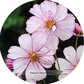 ASTONISH Sgomento SEMI: TS096 6: Heirloom rari semi importati USA Coreopsis Cosmea, Professional Service Pack, 100 semi/pack, molto bella