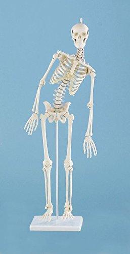 """Miniatur-Skelett """"Paul"""" mit beweglicher Wirbelsäule"""