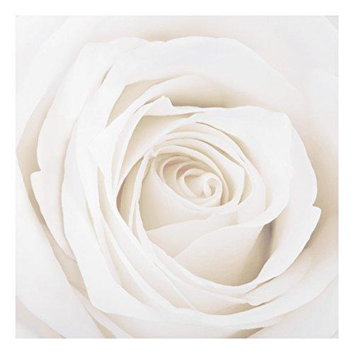 75 Fine Art Prints (Apalis FOREX Fine Art Print-Wandbild Pretty White Rose-quadratisch 1: 1, Maße HxB: 75cm x 75cm)