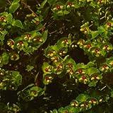 Wolfsmilch, Euphorbia x martinii