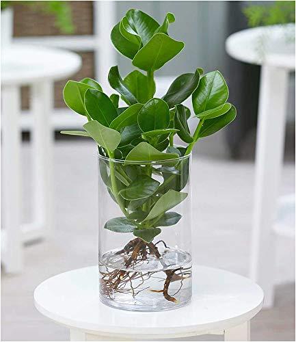 BALDUR-Garten Clusia mit Glasgefäß, 1 Pflanze Zimmerpflanze Balsamapfel Balsamfeige
