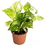Universal Fountain Green Good Luck Money Plants for Home