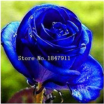 Fash Lady Großer 100pc / Lot rosafarbene Samen, rosafarbene Bonsais, 14 Arten Rosensamen