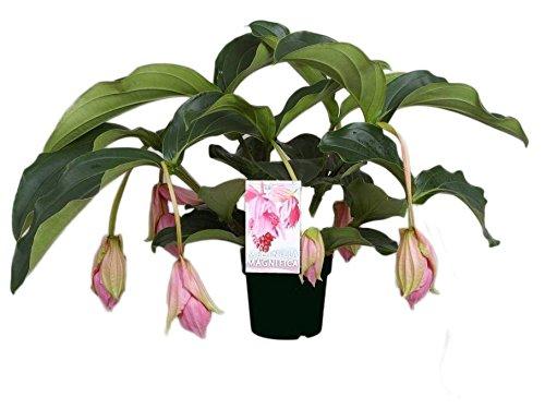 FloraStore - Medinilla Magnifica mit 6 Tasten (1x), Höhe 55 CM, Topf 17 CM, Zimmerpflanze