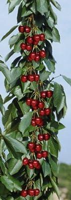 Säulensüßkirsche Viktoria®, 1 Pflanze von Amazon.de Pflanzenservice auf Du und dein Garten