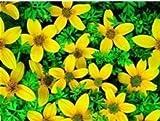 JustSeed Blume Zweizahn Golden Eye 25 Samen