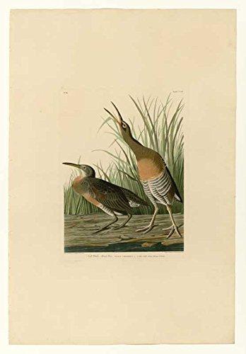 Das Museum Outlet-Audubon (- Salz Wasser Marsh Henne-Teller 204-Poster Print Online (A3Poster) - 204 Poster