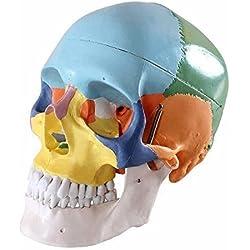 Bestdental - Calavera anatómica humana (3 piezas)