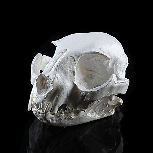PETSOLA Réel Réplique De Modèle De Crâne De Chat Animal Modèle Aquarium Reptile Terrarium Décor