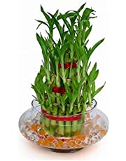 The Bonsai Plants 3 Layer Lucky Bamboo Plant with Pot for Home