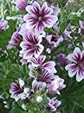 PlenTree Zebra Mallow (Malva Sylvestris 'Zebrina') 20 Seeds