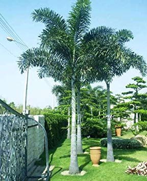 PLAT FIRM ~ Fox Samen ~ Palm Samen Wodyetia bifurcata 100 Feine Samen