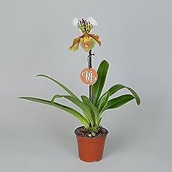FloraStore - Paphiopedilum Amerikanische Hybrid 1 Filiale (1x), Höhe 35 CM, Topf 12 CM, Zimmerpflanze