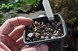 Portal Cool Fritillaria Montana - Selten-Angebote Schöne Alpine-Birne