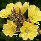 50pcs giallo primula sera Semi cheiranthifolia Fiore seme semi bonsai giardino della casa fai da te di farmerly