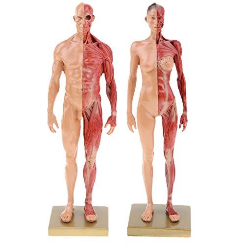 B Blesiya 2X Anatomisches Lernwerkzeug - Anatomie Figuren Modell Muskelsystem Muskel Struktur für Laborbedarf