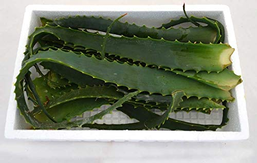 Hojas de Aloe Vera Arborescens