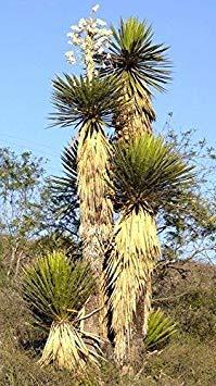 seedsown Keimfutter: Rare Yucca Carnerosana Exotische Sukkulente Kaktus Samen Aloe Agave Garten -15 Samen