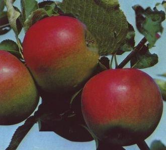 Apfelbaum Jonagold Apfel Jonagold - Malus Jonagold Containerware / 120-160 cm hoch,