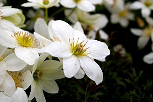 Waldrebe Flächendeckender Wuchs, tolle Blütenpracht