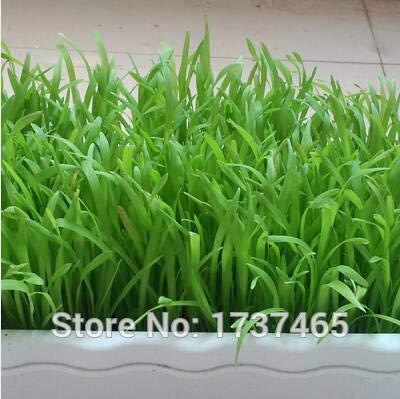 Go Garden Réel 50 grammes fléole, Couper précoce, Plante vivace bonsaï fourrage de haute qualité jardin à domicile