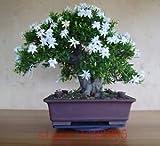 Fash Lady 200 Stücke Gardenia Samen (Cape Jasmin), Bonsai Blumensamen, Geruch & Schöne Blumen Topfpflanzen Für Haus & Garten