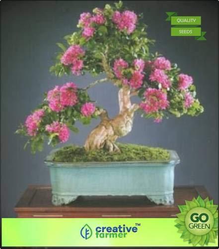 Pinkdose Taman Seed