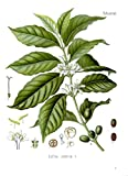 Arabica Kaffee 5 Samen -Coffea arabica- Top Qualität -Schöne Zimmerpflanze-