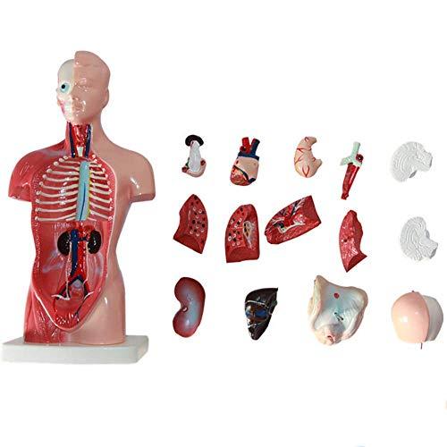 ZQDL 26CM Menschlicher Torso Modell 15 Stücke Menschlicher Körper System Anatomie des Modells Medizinische Lehre PVC Material