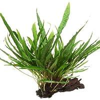 Aqua Plants Microsorum Crecido en Madera de Mango