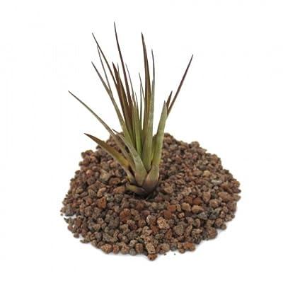 Tillandsia melanocrater tricolor - lose Pflanze gross