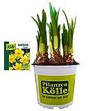 Narzisse Osterglocke 'Carlton' gelb, vorgetrieben im 12 cm Topf - Zwiebelpflanze aus eigener Gärtnerei von Pflanzen-Kölle - Narcissus 'Carlton' - schöne Osterdeko im Frühling