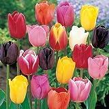 """50 Bulbi di tulipani """"In Mix""""- Bulbi da fiore - SPEDIZIONE GRATUITA"""