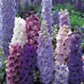 Just Seed - Flower - Delphinium - Pacific Giants Strain - Round Table - 30 Seeds
