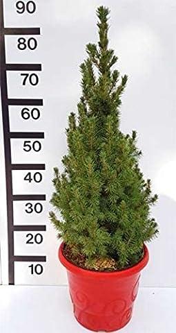 Weihnachtsbaum Zuckerhut-Fichte Weißfichte Picea glauca Conica