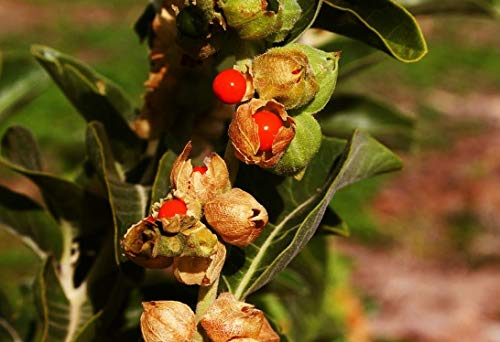 Las semillas orgánicas: 10000 Semillas: Las semillas de Withania somnifera, semillas Ashwagandha, ganso, ginseng indio por Farmerly