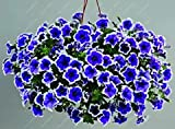 100pcs Petunie Samen hängen Melisse ursprünglichen Blumensamen mehrjährigen Blumen für Hausgarten Bonsai Topf pflanzen Petunie 13